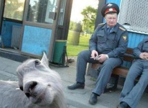 Goat Photobomb.