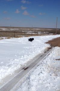 Keena bounding through snow drifts as big as her.